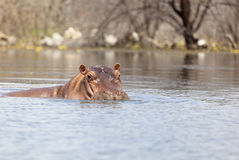 Hippo at Lake Baringo, Kenya. A hippo swimming near the shore at Lake Baringo, Kenya Stock Images
