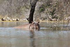 Hippo at Lake Baringo, Kenya. A hippo swimming near the shore at Lake Baringo, Kenya Royalty Free Stock Photos