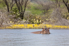 Hippo at Lake Baringo, Kenya Royalty Free Stock Photos