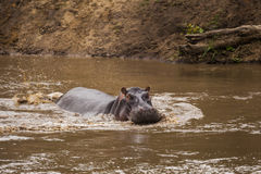 Hippo in the lake. Kenya National Park. Stock Images