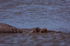 Hippo in the lake. Ngorongoro area. Tanzania stock images