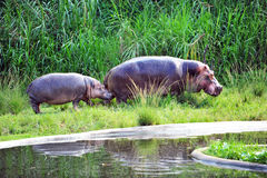 Hippo. Is a large, mostly herbivorous mammal in sub-Saharan Africa Royalty Free Stock Photo