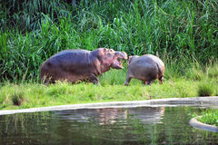 Hippo. Is a large, mostly herbivorous mammal in sub-Saharan Africa Stock Photos