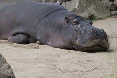 Hippo laying sleepy on sand Stock Photo