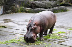 Hippo. Located in Muzha, Taipei City Zoo is a few minutes' walk from the Taipei City Zoo MRT Station. It is considered as one of the largest zoos in Asia with royalty free stock photo