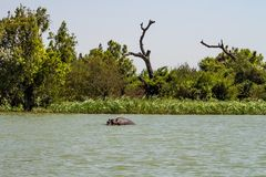 Hippo looking out of the water in lake Tana, Ethiopia royalty free stock photography