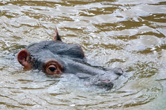 Hippo, Maasai Mara Game Reserve, Kenya Royalty Free Stock Photography