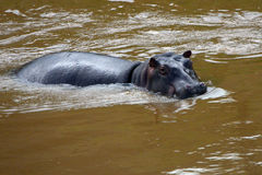 Hippo, Maasai Mara Game Reserve, Kenya Royalty Free Stock Photo