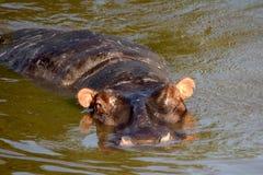 Hippo, Maasai Mara Game Reserve, Kenya Stock Images