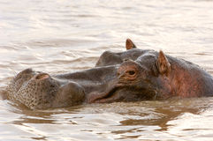 Hippo in Mara river Kenya Stock Photos