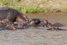 Hippo in the Mara River, Kenya Royalty Free Stock Image