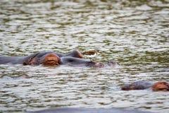 Hippo met een vogel Royalty-vrije Stock Afbeeldingen