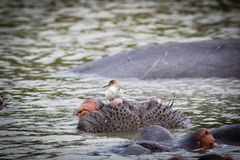 Hippo met een vogel Royalty-vrije Stock Foto's