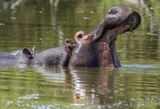 Hippo met open mond Royalty-vrije Stock Afbeeldingen