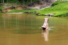 Hippo met open mond bij Dierentuin Itatiba/Brazilië Royalty-vrije Stock Afbeeldingen