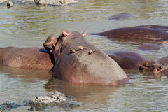 Hippo met oxpeckervogel Stock Foto