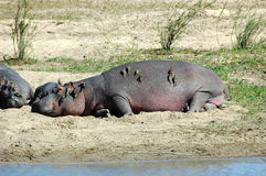 Hippo met redbilled oxpeckers Stock Foto's
