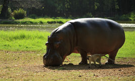 The hippo and the monkey Royalty Free Stock Photography
