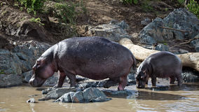 Hippo-mother and the baby come out of a river. Serengeti National Park of Tanzania Royalty Free Stock Photo