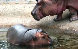 Hippo mother and baby Royalty Free Stock Photo