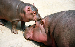 Hippo mother and baby Stock Photos