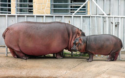 Hippo mother and baby Stock Photo
