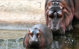 Hippo mother and baby Royalty Free Stock Photos