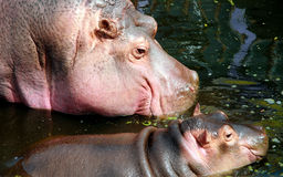 Hippo mother and baby Stock Photography