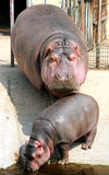 Hippo mother and baby Royalty Free Stock Image