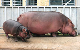 Hippo mother and baby Royalty Free Stock Images