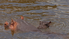 Hippo mother with bay Stock Photography
