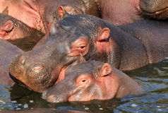Hippo Mother and Calf. Mother and Calf of Hippopotamus (Hippopotamus Amphibius) in the Water, Serengeti, Tanzania Stock Photos