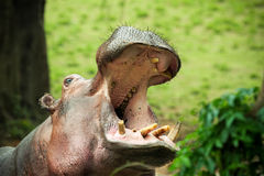 Hippo mouth. A pygmy hippopotamus shot with th e mouth open Stock Photo