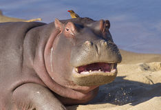 Hippo with mouth open, South Africa. A young Hippo on a sandbank, Kruger Park, South Africa, (Hippopotamus amphibius Royalty Free Stock Photo