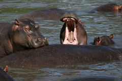 Hippo Mouth Wide Open in Africa Stock Image