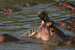 Hippo Mouth Wide Open in Africa Royalty Free Stock Photo