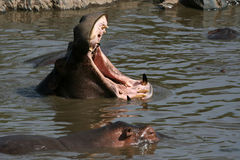 Hippo Mouth Wide Open in Africa Stock Photography
