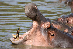 Hippo Mouth Wide Open in Africa royalty free stock images