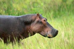 Hippo - Murchison Dalingen NP, Oeganda, Afrika stock foto
