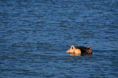 Hippo - Murchison Falls NP, Uganda, Africa Stock Image