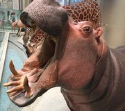Hippo at Natural History Museum. Stuffed hippo with open mouth Stock Image