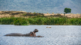Hippo in the Ngorongoro crater, Tanzania Stock Photography
