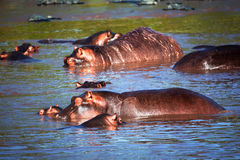 Hippo, nijlpaard in rivier. Serengeti, Tanzania, Afrika Stock Afbeeldingen
