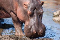 Hippo (Nijlpaardamphibius) stock fotografie