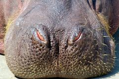 Hippo Nose Stock Image