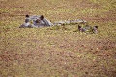 Hippo - Okavango Delta - Moremi N.P. Stock Photography