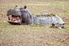 Hippo - Okavango Delta - Moremi N.P. Stock Photos