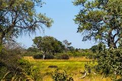 Hippo in Okavango swamps. Moremi game reserve national park, Okavango Delta, Botswana Royalty Free Stock Photography
