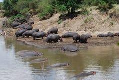Hippo op de Bank van de Rivier stock afbeeldingen