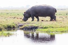 Hippo op eiland in Chobe-Rivier Stock Afbeelding